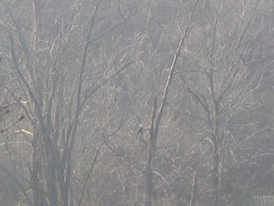 Can you see the Bald Eagle?