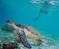 You may see a sweet turtle as you snorkel along exploring the reef out front.