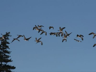 The flight of the wild geese over Cobtree in the Fall