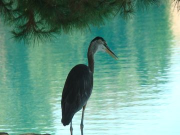 Gilbert house rental - This Blue Heron is one of the 'residents' of your backyard!