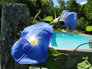 Ascutney farmhouse photo - Morning Glories for a morning swim