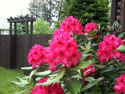 spring Rhododendrons