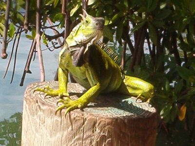 Do not feed the iguanas at Mamacetas even if they strike a pose for your camera.