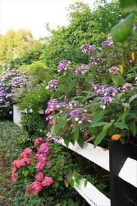 County Clare estate rental - Hydrangea and many other colourful plants adorning the neighborhood