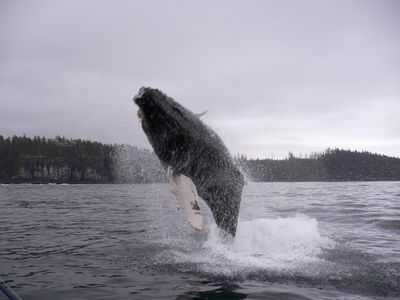 Humpback whale in full breach.