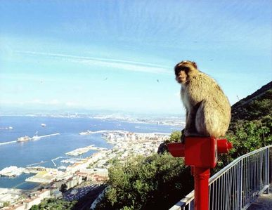 Gibraltar - One of the famous Barbary Apes