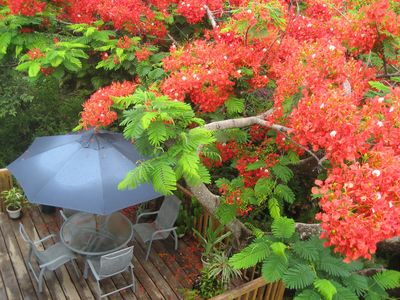 FLAMBOYANT TREE IN FULL BLOOM ON DINING DECK/TREEHOUSE DECK FOR FOUR.