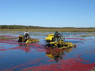 Tom Nevers cottage photo - Cranberry Harvest at Milestone bog
