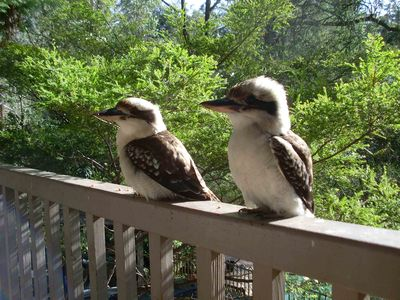 Some of our feathered friends who visit (kookaburra)