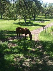 Paso Robles barn photo - Private hiking trails with lots of four legged friends to visit with!