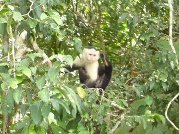 1 hour easy drive or bus ride to the city to Gamboa Monkey tour