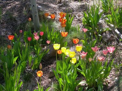 Tulips in the garden in spring