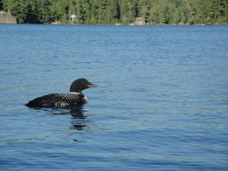 Dedham cottage photo - A Loon on the lake from a kayak