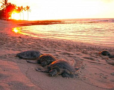 Turtles basking at Kaloko Honokohau National Historic Park (10 mins away)