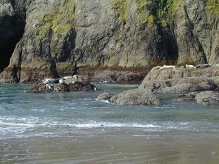 Bandon house photo - Seals basking on the rocks at Elephant Rck. a short walk South from Seascape.