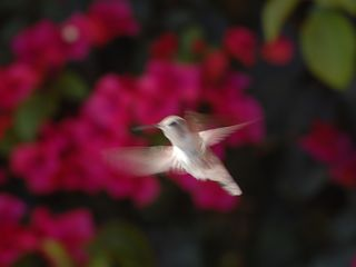 Indian Wells estate photo - birds love the paradise and cascading bougainvilleas