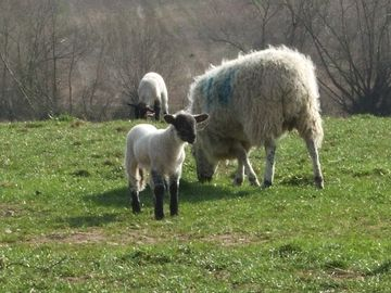 Spring Lambs in nearby fields