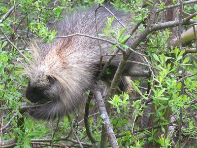 Our porcupine resident at Fireweed House