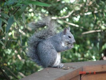 Local grey squirell enjoying lunch on deck railing