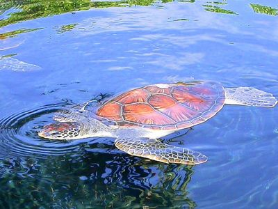 Swim right out front with the local turtles!