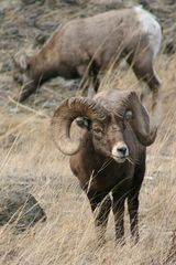 Absarokee cabin photo - Mountain Sheep Ram - Near Stillwater Mining Co. - 30 minutes drive.