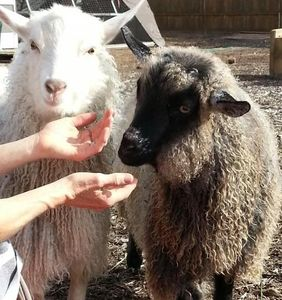 Franz and Dutch, our two Pygora goat brothers!!