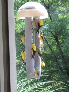 Watch the goldfinch outside the livingroom window
