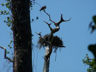 Weeki Wachee house photo - Osprey