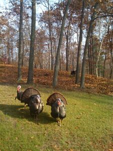 Turkeys come a calling