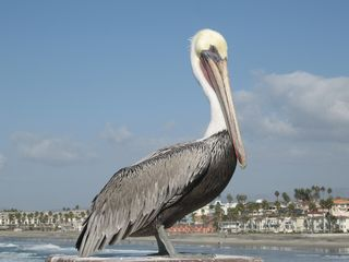 Oceanside condo photo - One of the many Pelicans that live in Oceanside.