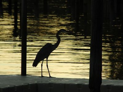 Blue Heron at dusk -- picture taken by our Canadian guests