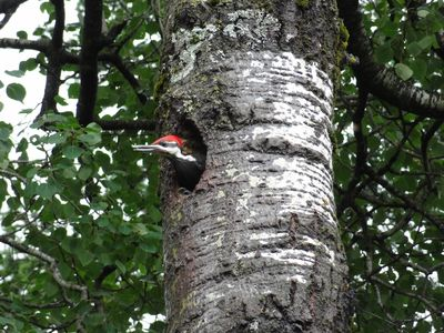 Woodpecker nesting in a tree at Namebini