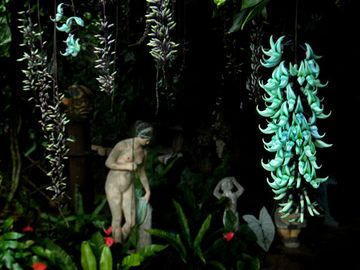 Green jade vine in flower in the house-entryway