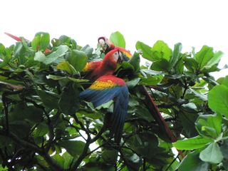 Jaco house photo - Scarlet Macaws in almond trees at front of house