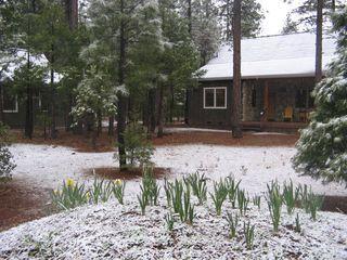 Burney house photo - Spring dusting of snow on daffodils