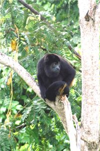 Howler monkey in trees behind our condo