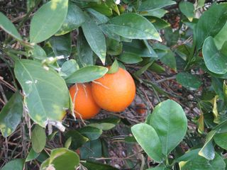 Glendale house photo - Enjoy fresh citrus in season--oranges, lemons, and limes.