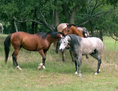 Prize-winning Arabian Horses share some small talk under the trees.
