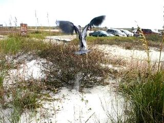 Gulf Shores house photo - Blue Heron in flight