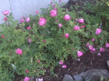 Roses in Bloom