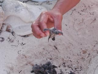 Helping Baby Sea Turtles