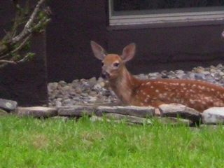 Lake Ariel house photo - Baby Deer Relaxing in the Front Yard Garden