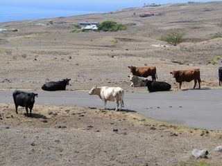 Kohala Ranch house photo - Some of our neighbors, free roaming cattle.
