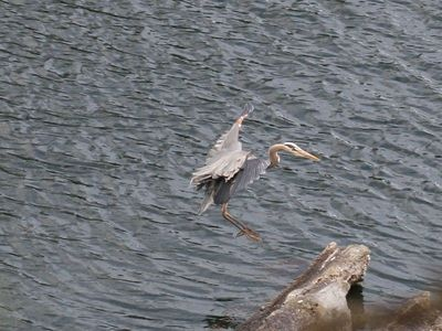 A heron about to land on the breakwater in front of the cottage.