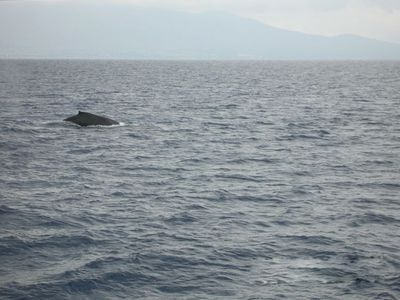 Maalaea condo rental - Whales from the Lanai