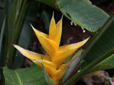 The house is named after this flower. Heliconia Caribaea Gold (110 species here)