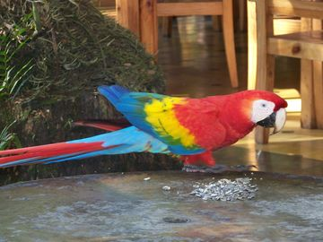 A flock of scarlet macaws come to the village daily to the trees along the beach