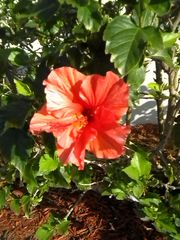 Venice house photo - Our own Hibiscus.