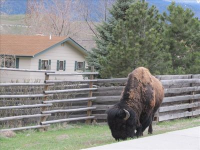 Bison on the Street Outside the House