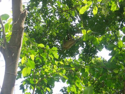 Sloth in the canopy above the Chalet